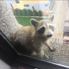 #MPRRaccoon and Climbing Injuries